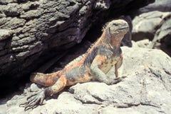 厄瓜多尔加拉帕戈斯海洋鬣鳞蜥的海岛 免版税库存照片