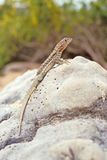 厄瓜多尔加拉帕戈斯群岛熔岩蜥蜴 库存图片