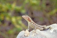 厄瓜多尔加拉帕戈斯群岛熔岩蜥蜴 库存照片