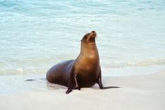 厄瓜多尔加拉帕戈斯群岛狮子海运 免版税库存图片