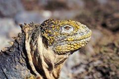 厄瓜多尔加拉帕戈斯鬣鳞蜥海岛地产 免版税图库摄影