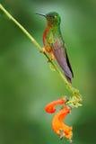 从厄瓜多尔的鸟 在森林蜂鸟栗子breasted冠的橙色和绿色鸟, Boissonneaua matthewsii在前面 免版税库存照片