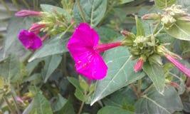 从厄瓜多尔的紫色异乎寻常的花 免版税库存照片