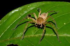 厄瓜多尔蜘蛛 免版税图库摄影