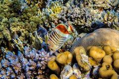 厄立特里亚Butterflyfish 库存照片