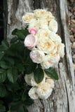 历史的白色和桃红色玫瑰色花束冷甜点 库存照片