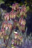 压缩空气装置或大教堂响铃, Bryophyllum pinnatum 图库摄影