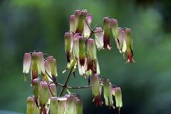 压缩空气装置或大教堂响铃, Bryophyllum pinnatum 免版税库存图片