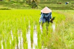 巴厘岛农夫种植在稻田的米 免版税库存照片