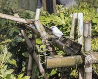 巴厘岛看起来的椋鸟科好奇 免版税图库摄影