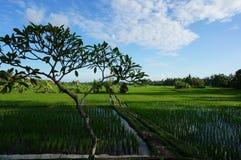 巴厘岛米领域和树 免版税库存图片