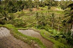 巴厘岛米领域 图库摄影