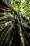 巴厘岛迁徙的benjamini树密林Tamblingan 库存照片
