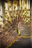 从巴厘岛鸟公园的孔雀 免版税库存图片