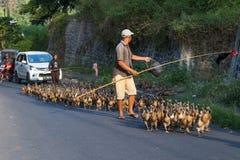 巴厘岛,印度尼西亚-大约2015年9月:成群在巴厘岛乡区的鸭子  免版税库存照片