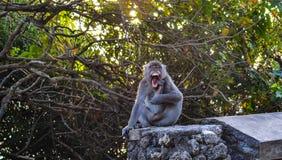 巴厘岛,印度尼西亚(猴子) 库存照片