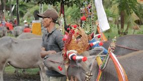 """巴厘岛,印度尼西亚- 2016年9月:Makepung †""""水牛城种族在巴厘岛 股票录像"""