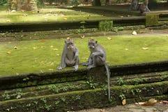 巴厘岛2猴子社会遭遇 库存照片