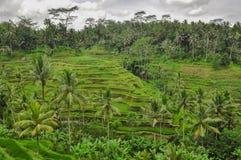 巴厘岛ricefield印度尼西亚Ubud巴厘岛 库存图片