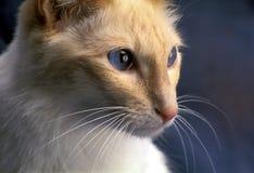 巴厘语猫 免版税图库摄影