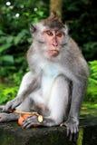 巴厘语猴子 免版税图库摄影