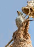 厚实的开帐单的花啄木鸟婴孩 库存图片