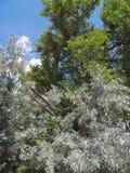 厚实的树在蓝天和明亮的夏天太阳下 库存照片