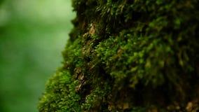 厚实的绿色青苔特写镜头在一个厚实的树干的森林里 饱和的绿色 艺术美丽的照相机注视看起来充分的魅力绿色关键字的嘴唇低做照片妇女的纵向紫色的方式 股票视频