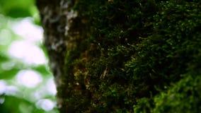 厚实的绿色青苔特写镜头在一个厚实的树干的森林里 饱和的绿色 艺术美丽的照相机注视看起来充分的魅力绿色关键字的嘴唇低做照片妇女的纵向紫色的方式 股票录像