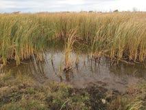 厚实的芦苇的一个小湖 库存图片