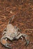 厚实的被盯梢的蝎子(Tityus sp。) 免版税库存照片