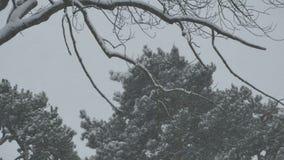 厚实的降雪的分支和树 股票录像