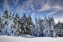 厚实的雪盖的小组松树在稀薄的云彩下 库存照片