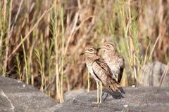 水厚实膝盖(Burhinus vermiculatus) 库存图片