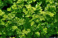 厚实,豪华,绿色植物 库存图片