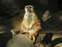 厚脸皮肥胖的meerkat 库存照片