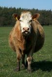 厚颜无耻的夏洛来牛 免版税图库摄影