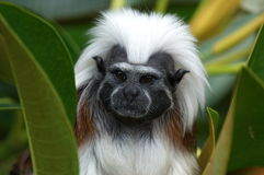 厚颜无耻的猴子 库存照片