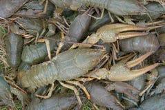 原始大的小龙虾 库存图片