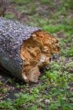 原始森林在阿尔卑斯 库存照片