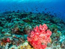 原始热带珊瑚礁 免版税库存照片