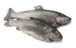 原始的鳟鱼 免版税库存图片