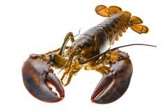 原始的龙虾 免版税库存图片