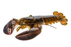 原始的龙虾 免版税库存照片