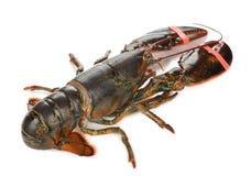 原始的龙虾 库存图片