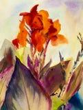 绘原始的Canna百合花的风景橙色颜色水彩 免版税库存图片