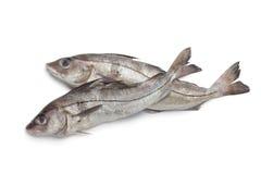 原始钓鱼的新鲜的黑线鳕 库存照片