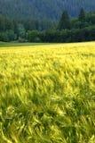 原野山的杉木森林与粮田种田 免版税库存照片