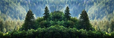 原野山的杉木森林 图库摄影