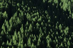 原野杉树的森林 免版税库存照片
